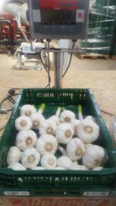 Pantirus bauen heute vier spanische Knoblauchsorten an. Als Saatgut für den Handel und als Eigenerzeugnis